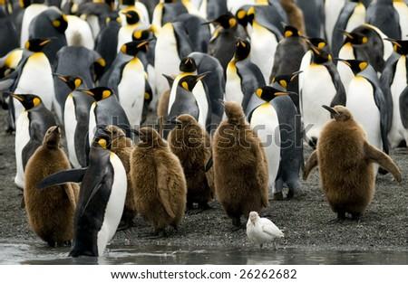King penguin colony with Sheathbill - stock photo