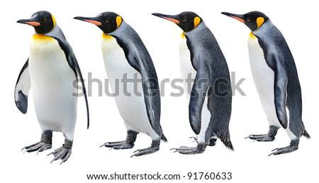King Penguin in various poses isolated on white - stock photo