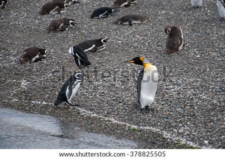 King penguin looks on magellanic penguin on Isla Martillo, Beagle channel, Ushuaia. - stock photo
