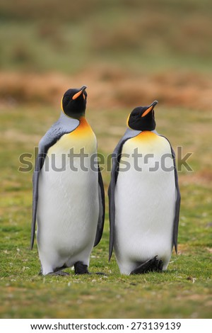King penguin pair in wild nature with green grass background - stock photo