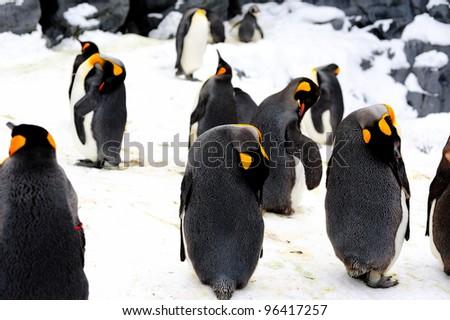 King penguin sleeping - stock photo