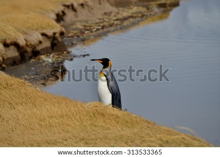 King penguin standing at the river shore, Tiera del Fuego, Chile. - stock photo