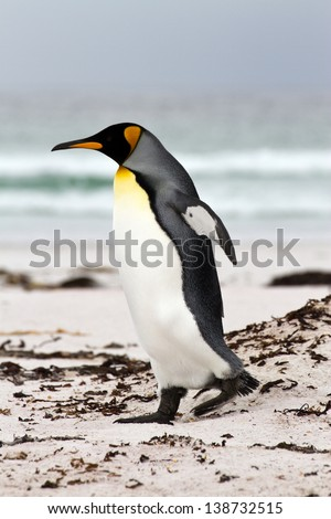 King Penguin walking on the beach