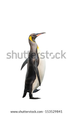 King penguin walks isolated on the white background - stock photo