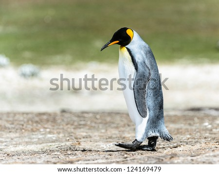 King penguin walks thinking.  Falkland Islands, South Atlantic Ocean, British Overseas Territory - stock photo
