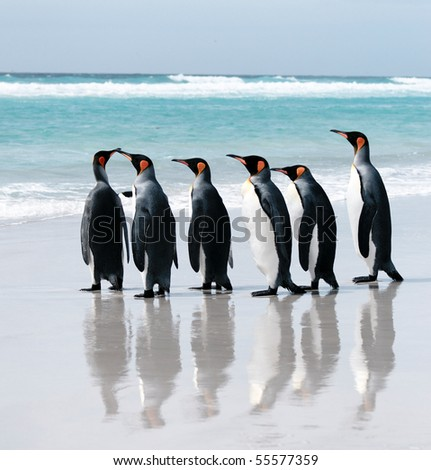 King Penguins about to enter the sea off Volunteer Point, Falkland Islands - stock photo