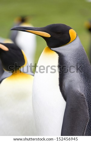 King Penguins (Aptenodytes patagonicus) - Volunteer Point in the Falkland Islands