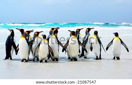 King Penguins at Volunteer Point, Falkland Islands - stock photo