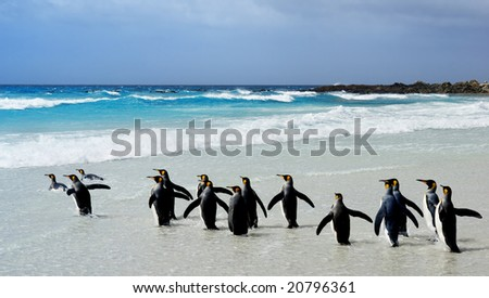 King Penguins heading to the water at Volunteer Point, Falkland Islands - stock photo