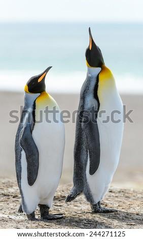 King penguins in Antarctica - stock photo