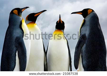 King Penguins in the Falkland Islands - stock photo