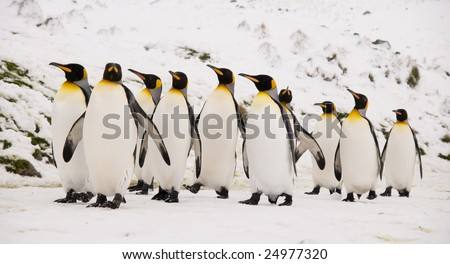 King penguins marching - stock photo