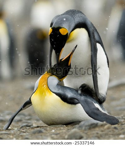 King penguins mating - stock photo