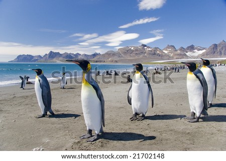 King penguins on a beach - stock photo