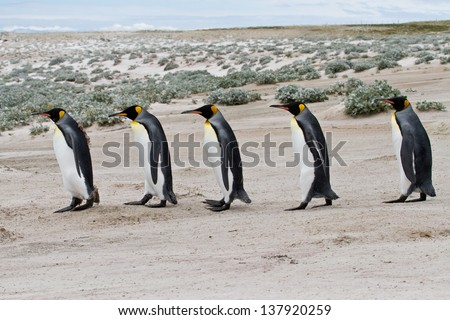 king penguins walking in row - stock photo