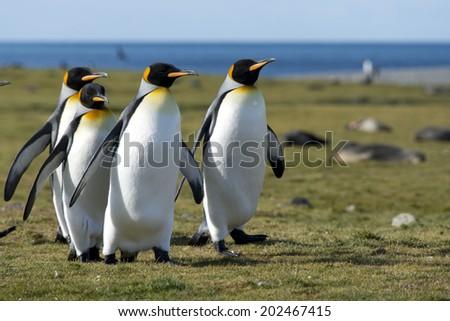 King penguins walking in sunlight, South Georgia - stock photo