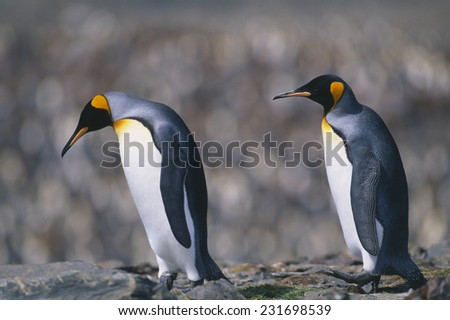 King Penguins Walking on Rocks
