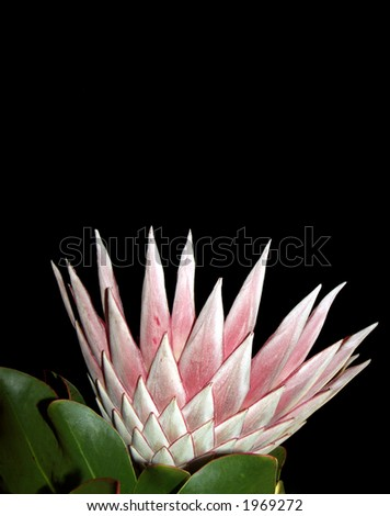 King protea with plenty copy space - stock photo