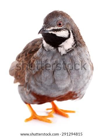 King quail isolated on white background - stock photo