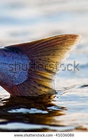 King salmon tail - stock photo