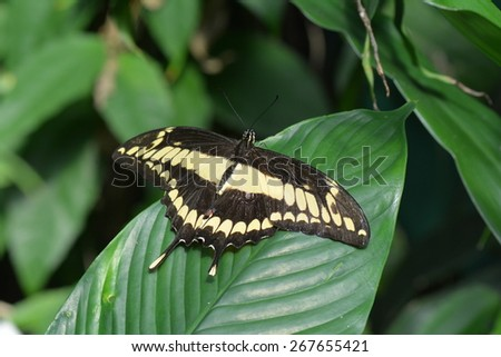 King Swallowtail butterfly lands in the butterfly gardens. - stock photo