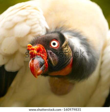 King Vulture - stock photo