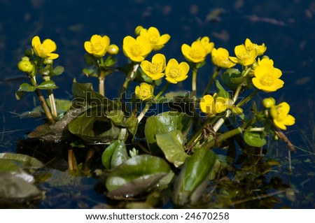 Kingcup or Marsh Marigold (Caltha palustris) - stock photo