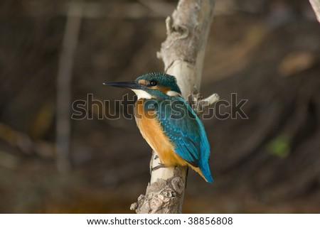 kingfisher alcedo atthis - stock photo