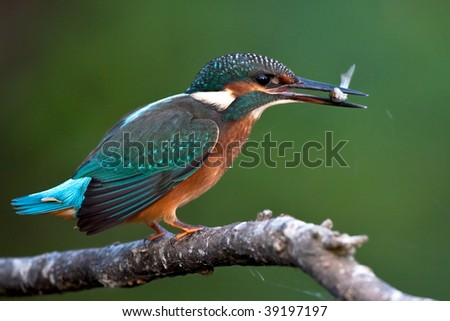 Kingfisher (alcedo atthis) and fish - stock photo