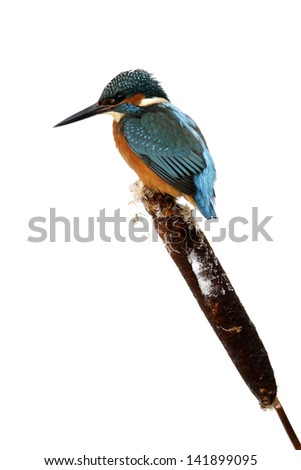 Kingfisher, Alcedo atthis, Single bird on frosty perch, Midlands, December 2010