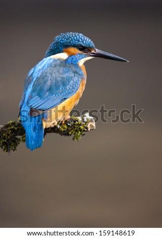 Kingfisher blue - stock photo