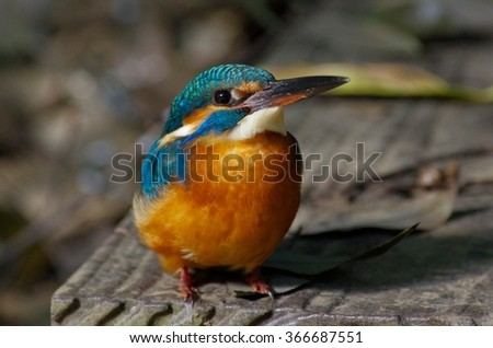 Kingfisher in the waterside
