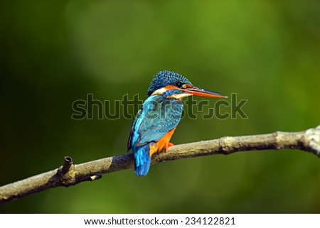 Kingfisher in the wild on the island of Sri Lanka
