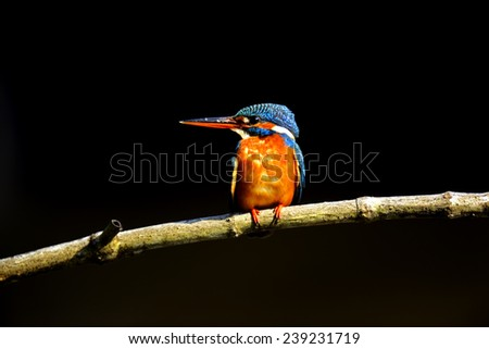 Kingfisher in the wild on the island of Sri Lanka - stock photo