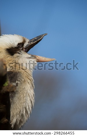 Kingfisher, Kookabura sitting on a branch and wait - stock photo