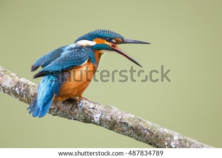 kingfisher on a stick