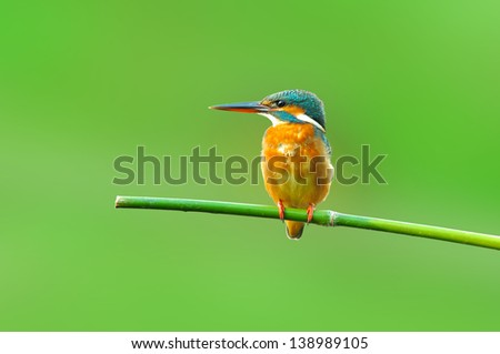 Kingfisher on green background