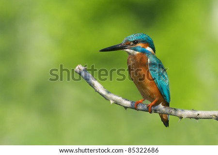 Kingfisher on the branch - stock photo