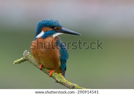 Kingfisher perched on moss covered branch/Kingfisher/Kingfisher (Alcedo Atthis) - stock photo