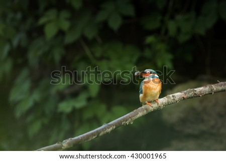 kingfisher with a catched fish on a branch