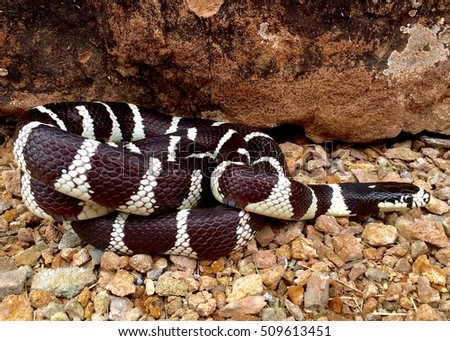 Kingsnake, Lampropeltis getula californiae - a snake that eats venomous rattlesnakes and other snakes