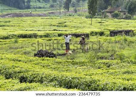 KINIHIRA, RWANDA- NOVEMBER 9: Children working at a tea plantation on November 9, 2013. Tea is export item of Rwanda - stock photo