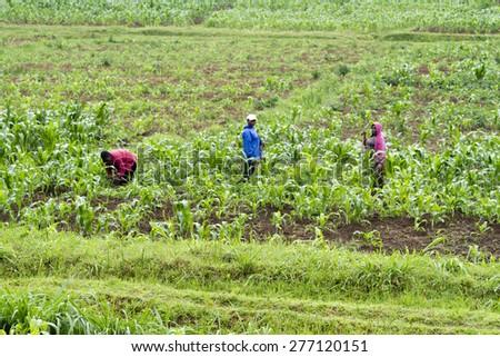 KINIHIRA, RWANDA- NOVEMBER 4: People working in a plantation on November 9, 2013.  - stock photo