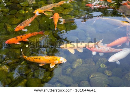 Kio carp swimming happily in clear water - stock photo