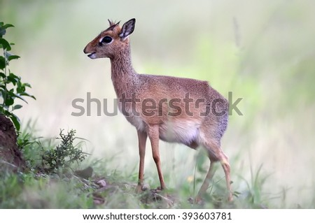 Kirk Dik-dik (Madoqua kirkii) the smallest antelope in the world - stock photo