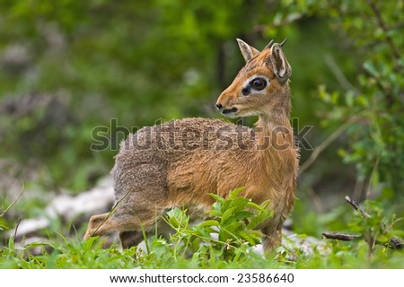 Kirk's(Damara) Dik- Dik; Madoque kirkii; - stock photo