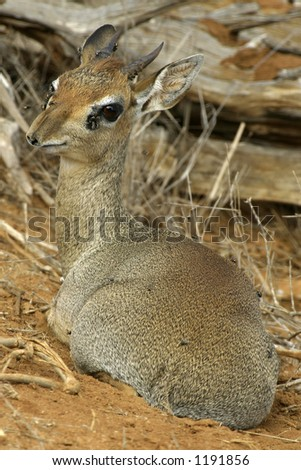 Kirk's Dik Dik - stock photo