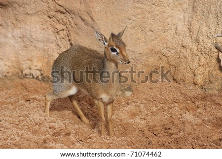 Kirk's Dik-dik - stock photo
