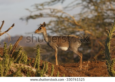 Kirk's Dikdik (small African antelope) - stock photo