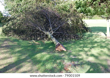 KIRKCALDY, SCOTLAND - MAY 29: A tree is uprooted on May 29, 2011 in Kirkcaldy, Scotland following storms which saw wind speeds reach of up to 100 mph across the country. - stock photo